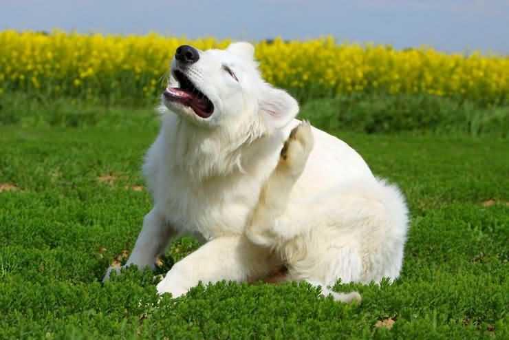 зуд у собак