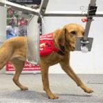 В Израиле собак обучают диагностировать рак