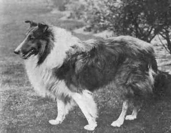 собака герой Великой Отечественной войны колли Дик