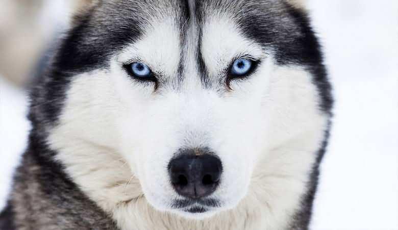 взрослый хаски с голубыми волчьими глазами