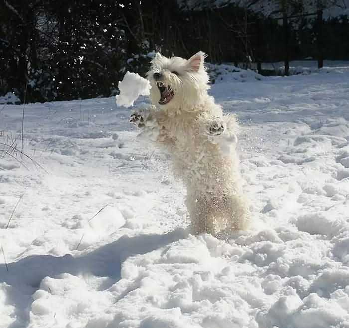 собака ловит снежки