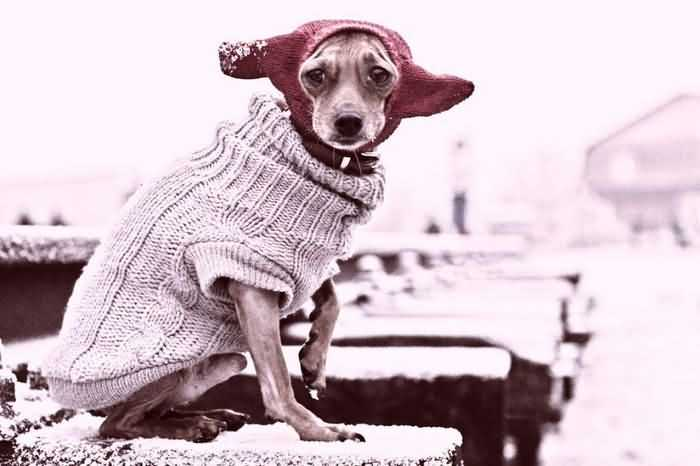 собака мерзнет в свитере