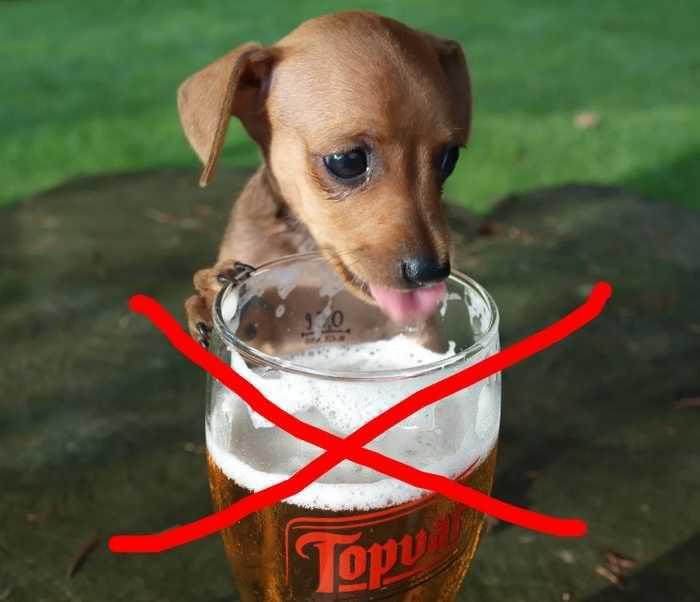 можно ли собаке пиво