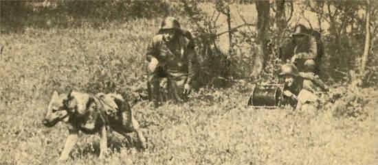 собака связист тянет кабель Великая Отечественная война