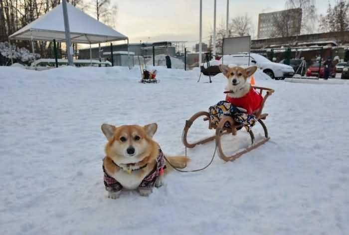 собаки играют в снегу