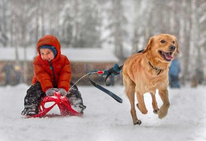собака везет санки по снегу