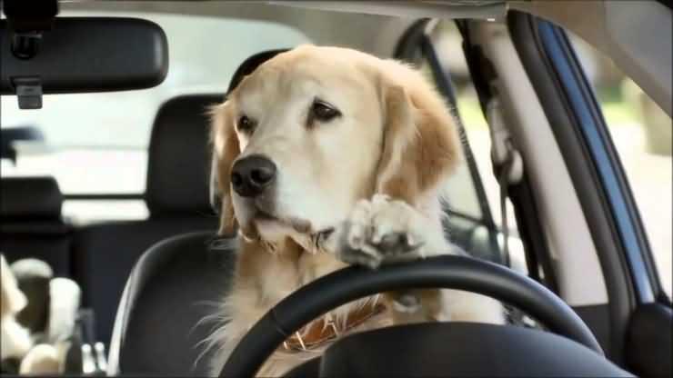 собака за рублем автомобиля