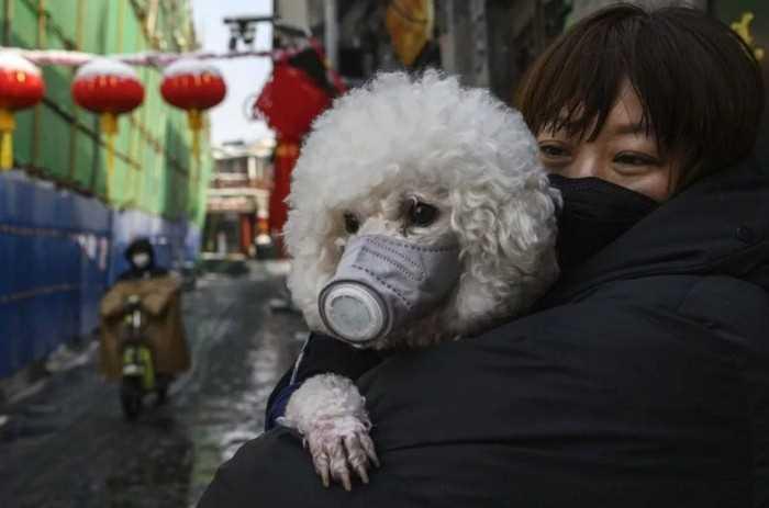собака в Китае носит респиратор от коронавируса