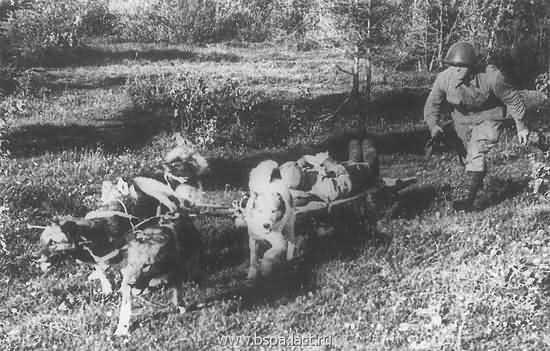 собаки санитары Великой Отечественной аойны
