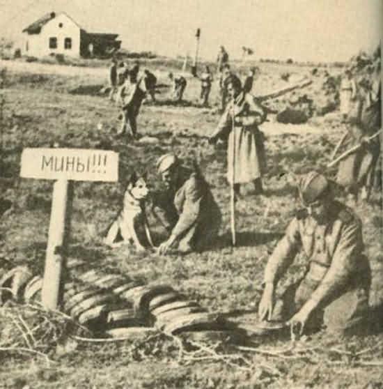 собаки саперы Великой Отечественной войны