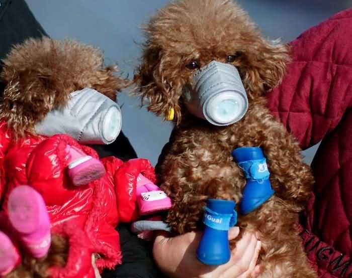 собаки в масках спасаются от коронавируса