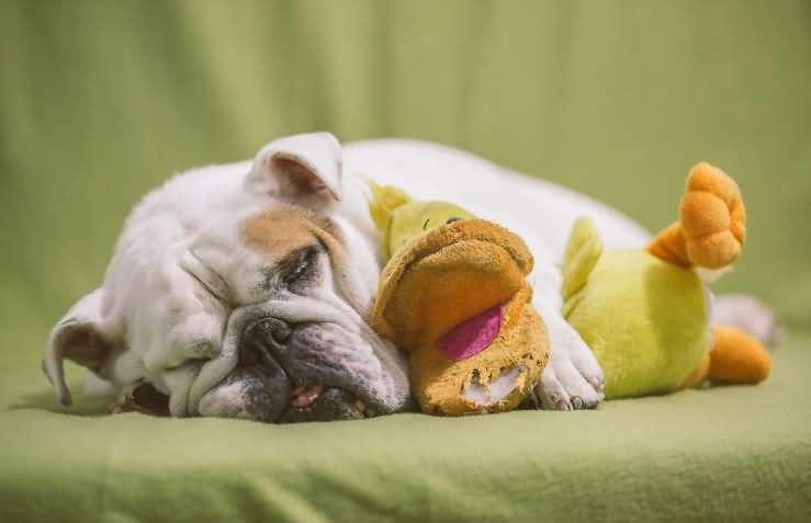 фото спящая собака