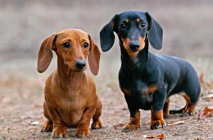 такса - почти идеальная собака для человека в возрасте