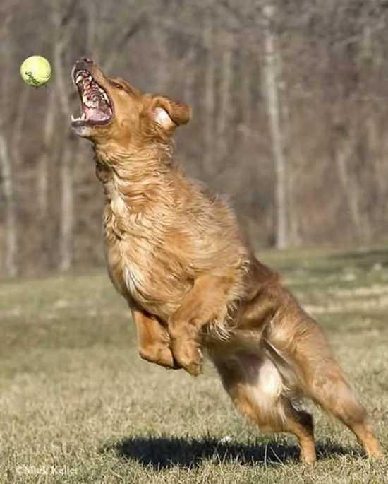 собака ловит теннисный мяч