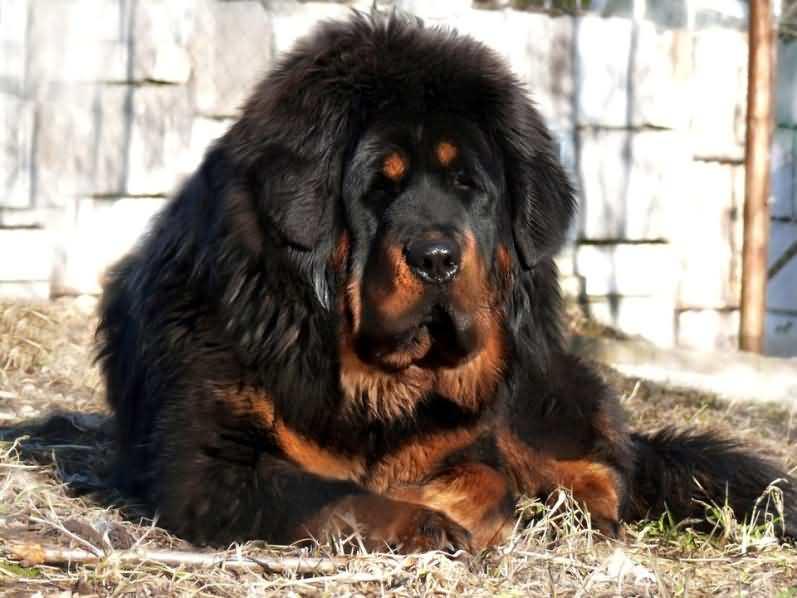 самая дорогая породоа собак в мире тибетский мастиф
