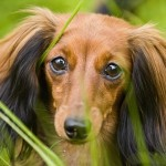 """""""Четвероногий доктор"""": собаки будут спасать диабетиков"""