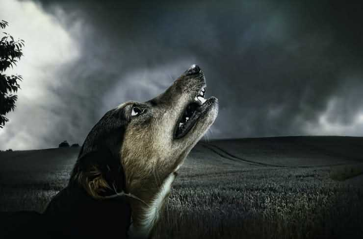 собака воет во дворе