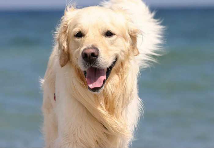 золотистый ретривер - самая дружелюбная порода собак в мире