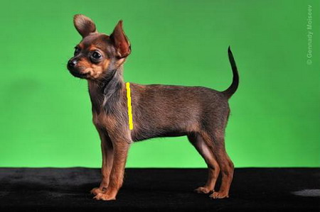 схема вязаного свитера для собаки