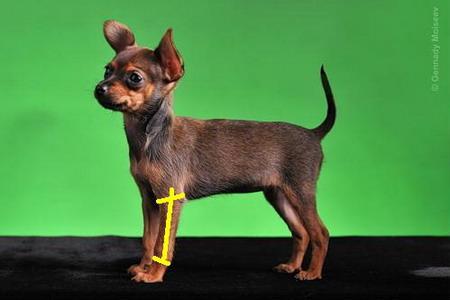 как вязать свитер для собаки круговыми спицами