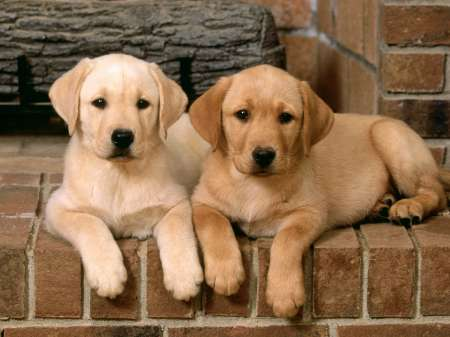 double_trouble_labrador_retrievers