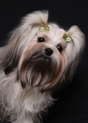 Собак лечат иглоукалыванием и расслабляют массажем
